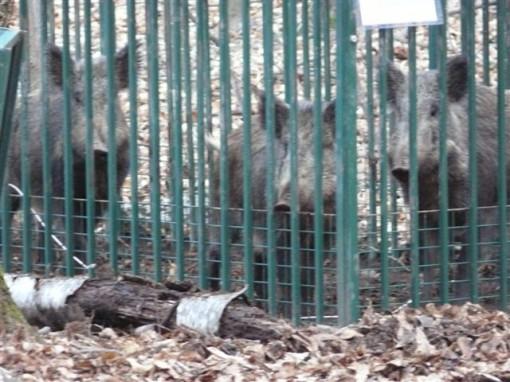 I cinghiali catturati con le trappole dagli operatori della Provincia
