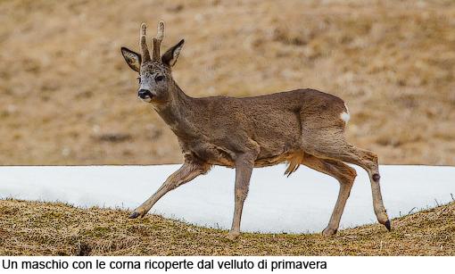 Attimi_Capriolo_03