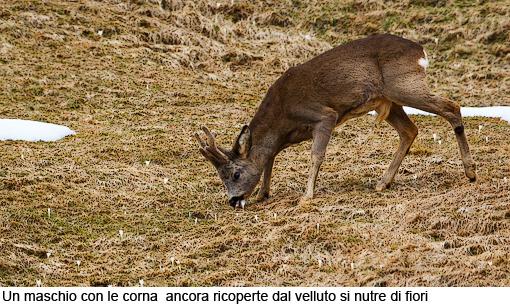 Attimi_Capriolo_04