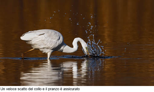 Attimi_Airone bianco-3
