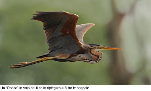 Attimi_Airone rosso-1