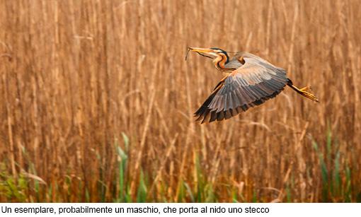 Attimi_Airone rosso-6
